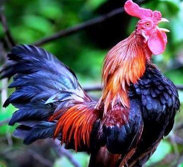 Harga Ayam Jantan