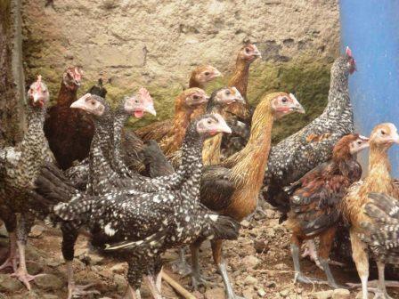 Harga Ayam Pelung Anakan
