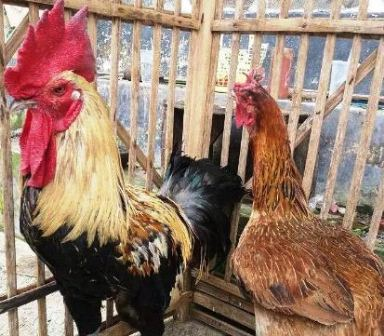 Harga Ayam Pelung Sepasang (Jantan dan Betina)