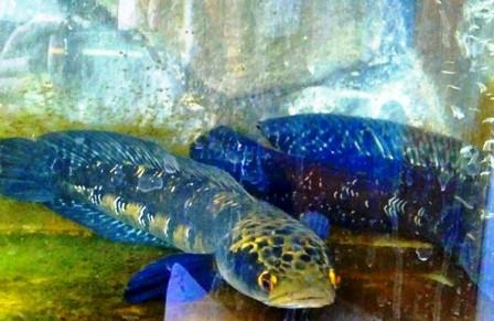 Harga Ikan Toman Biru (Blue Maru)