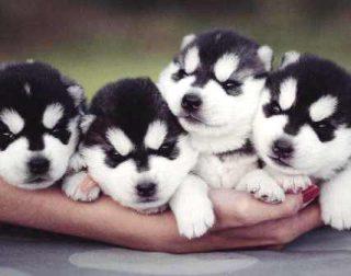Harga Anjing Husky Kecil