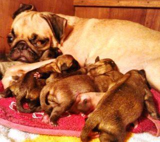 Harga Anjing Pug Bayi