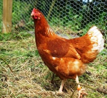Harga Ayam Afkir Merah