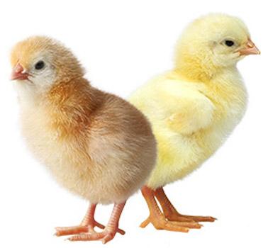 Harga Ayam DOC Layer