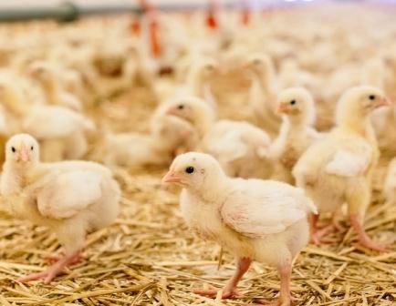 Harga Ayam DOC