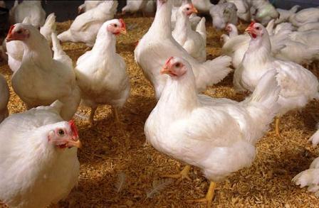 Harga Ayam Ras