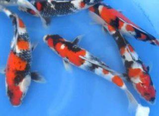 Harga Ikan Koi Dainichi Showa