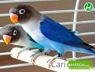 Harga Lovebird Mangsi