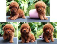 Harga Anakan Anjing Pudel