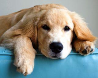 Harga Anjing golden retriever