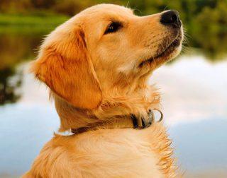 Harga Anjing golden retriever Dewasa