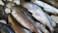 Harga Ikan Bandeng segar