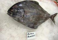 Harga Ikan Bawal Hitam