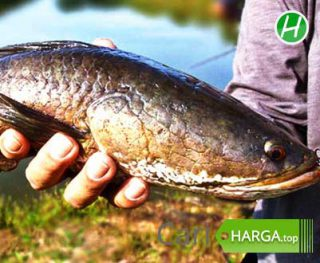 Harga Ikan Gabus
