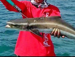 Harga Ikan Gabus Laut