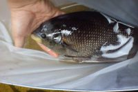 Harga Ikan Gurame Jepun