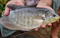 Harga Ikan Gurame Soang