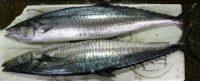 Harga Ikan Tenggiri Segar