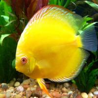 Harga Ikan discus gold yellow
