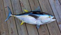 Harga Ikan tuna sirip kuning