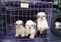 Harga Kandang Anjing Shih Tzu