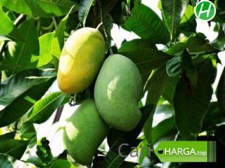 Harga buah mangga