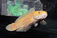 Ikan Gabus Albino