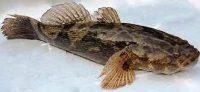 Ikan Gabus Malas