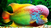 Ikan Louhan Rainbow King
