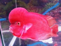 Ikan Louhan Red Monkey