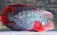 Ikan Louhan Strom