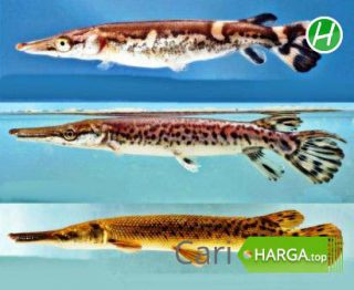 Harga Ikan Predator