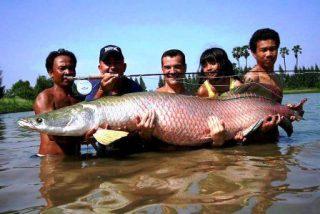 Harga Ikan Predator Arapaima