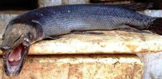 Harga Ikan Predator Buaya