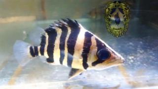 Harga Ikan Predator Datz