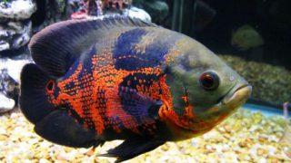 Harga Ikan Predator Oscar