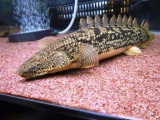 Harga Ikan Predator Palmas