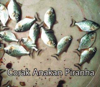Harga Ikan Predator Piranha Anakan