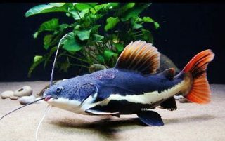 Harga Ikan Predator Red Tailed Catfish