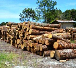 Harga Kayu Pinus Gelondongan