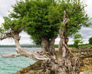 Pohon Kayu Stigi Laut