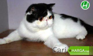 Harga Kucing Persia Pesek