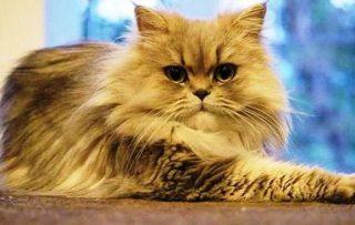 harga kucing persia pesek dewasa
